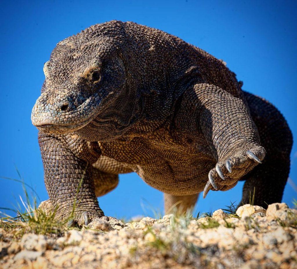 Dragons on Komodo Island: Not Daeneries Babies